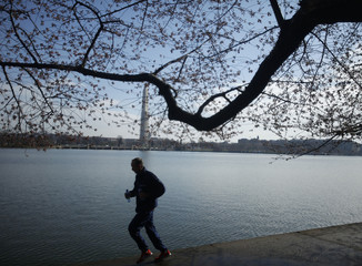 A man runs past cherry blossom buds that have yet to bloom around the Tidal Basin in Washington