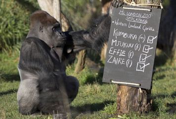A western lowland gorilla named Kumbuka is seen near a posed sign during a photocall at London Zoo