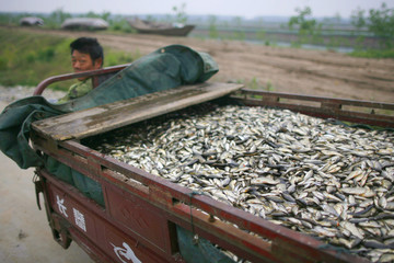 A fisherman rides a motor tricycle to transport dead fish killed by drought at his fish farm at Honghu Lake in Luoshan county