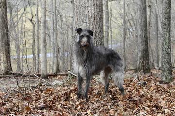 Westminster's Best-In-Show winner Scottish Deerhound Hickory at her Flint Hill Virginia home