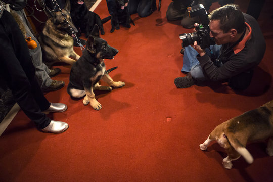 A photographer takes a picture of a German Shepherd puppy at the American Kennel Club (AKC) in New York