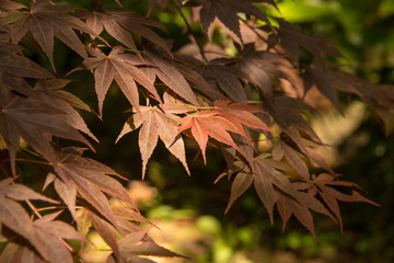 Japanese red maple tree branch in scattered light