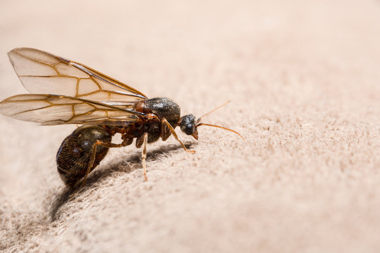 Close up photos Ants with wings Brown background