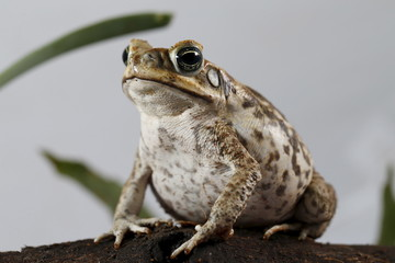 A Rhinella marina toad is pictured at a terrarium in Caracas