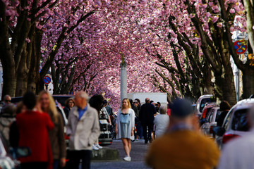 Tourists stroll through Heerstrasse flanked by pink cherry tree blossoms on Cherry Blossom Avenue in downtown Bonn
