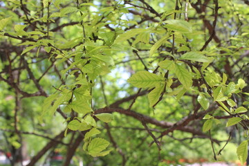 Spring Leaves on Trees in Qinghai China Asia