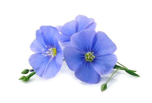 Flax blue flowers .