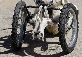 The hind paws of Abayed, a six-year-old herding dog, are seen attached to a specially-made wheeled walking aid inside the Humane Center for Animal Welfare near Amman