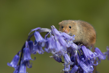 A close up image of a harvest mouse standing on top of a head of bluebell flowers