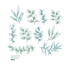 Eucalyptus leaf collection. Vintage engraved