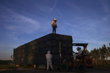 Beekeepers, or apiarists, secure a cover over bee hives stacked upon a truck as they prepare to transfer the bees to another crop after they completed pollinating a blueberry field near Columbia Falls, Maine
