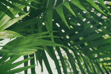 Green palm leaves, closeup