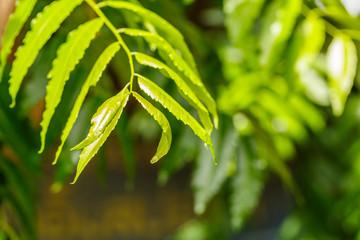 fresh green foliage of Neem tree glowing in sunlight