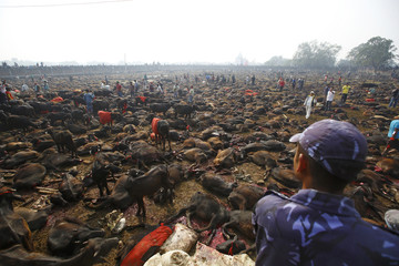 """Sacrificed buffalos lie on the ground of an enclosed compound during the sacrificial ceremony of the """"Gadhimai Mela"""" festival held in Bariyapur"""
