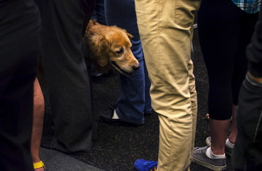 "A service dog stands amongst the crowd before Democratic presidential candidate Clinton speaks at a ""Women for Hillary"" meeting in Milwaukee"