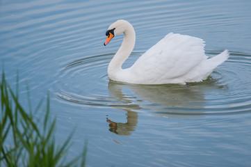 Mooie witte zwaan die in het meer drijft