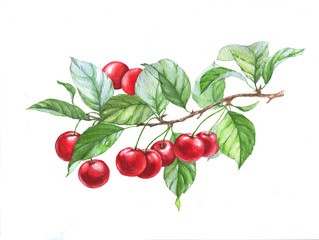 Hand drawn watercolor illustration of cherries on branch on the white background