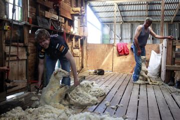Red Bull Formula One driver Vettel of Germany shears a sheep during a media opportunity at a farm near Melbourne