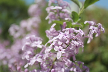 Purple Lilacs Blossoming in Xining Qinghai China Asia