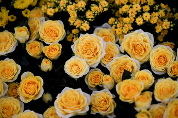 Roses are displayed at the Royal Horticultural Society's Chelsea Flower show in London
