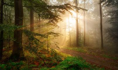 Wall Mural - Golden rays of sunlight falling into a misty forest
