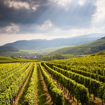 View of a typical alsatian landscape under a stormy summer sky with heavy and dark clouds, the village of Westhalten down below, vineyard in the foreground and hills in the background
