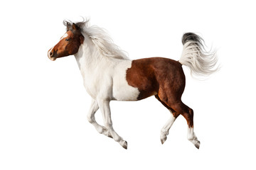 Beautiful piebald horse with long mane run gallop isolated on white background