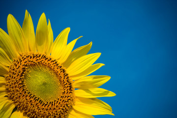 Close up of Sunflowers with blue sky