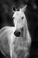 White horse portrait in motion. Black and white