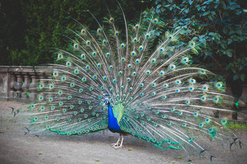 Beautiful peacock. male peacock displaying his tail feathers