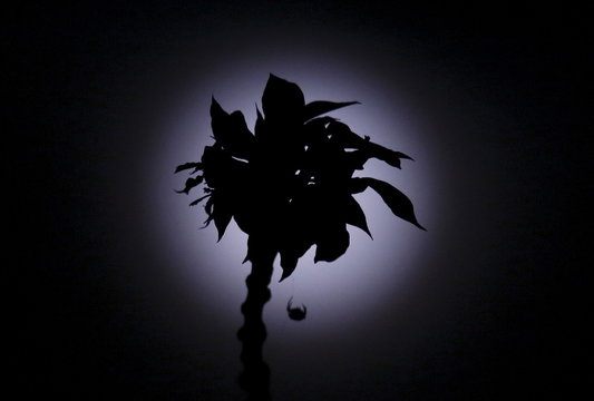 A spider hanging by its web on a flower is silhouetted against the full moon after a total lunar eclipse in Kathmandu