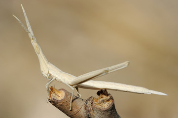 Acrida on a branch