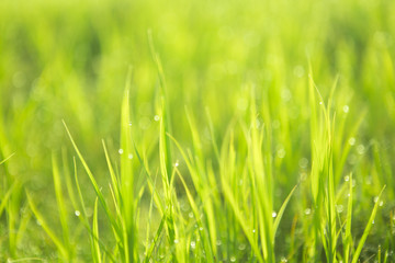 Green background by the fresh wild grass with water drops over sunbeam
