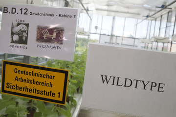 A sign is placed on a greenhouse with Tobacco plants (Nicotiana benthamiana) at the company Icon Genetic in Halle