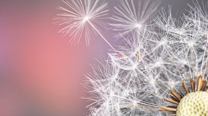 Close-up of dandelion seeds on blue natural background