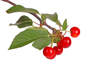 Branch with sour cherry leaves and fruit isolated