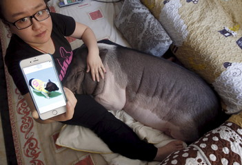 Zhu Roumeng shows an old picture of her pet pig Wuhua, which was taken when the pig was small, in her house in Beijing