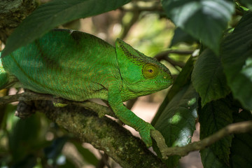 Green chameleon of Madagascar