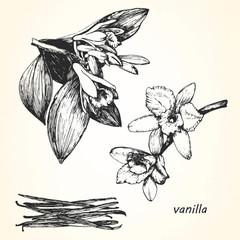 Hand-drawn illustration of Vanilla. Vector