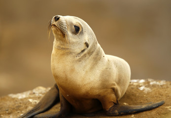 A seal pup rests on a rocky point along the shoreline in La Jolla, California