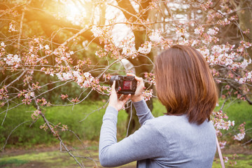 women traveler use camera take a photo cherry blossoms or sakura in full bloom at Japan