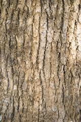 Close up texture of camphor tree bark