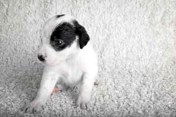 White puppies on a white fuzzy background