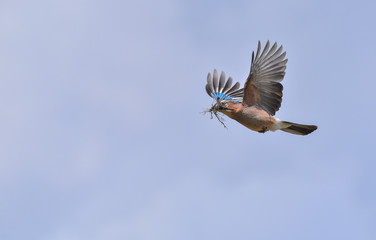 Ghiandaia che vola con erba nel becco