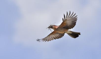 Ghiandaia in volo con erba nel becco