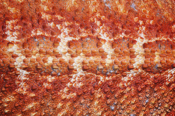 Pattern scales on the skin of the Bearded Dragon (Pogona vitticeps)