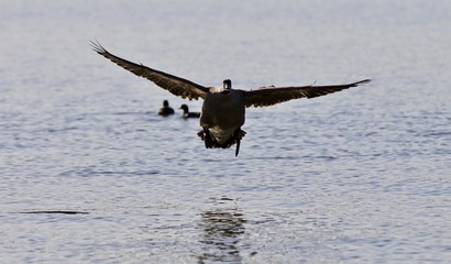 Beautiful isolated image of a landing Canada goose