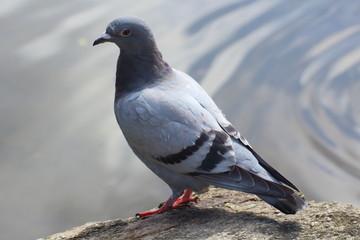Pigeon posé sur un rocher près d'un lac