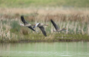 Greylag geese flying across a loch, close up