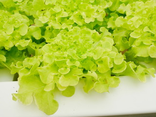 fresh green hydroponic organic vegetable